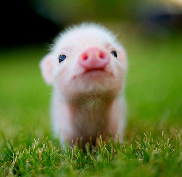 Cute Little Pig